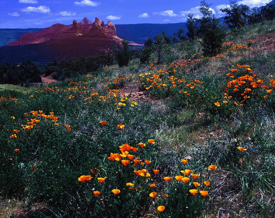 Arizona Photograph - Sedona Poppies 2 by Bob Bradshaw