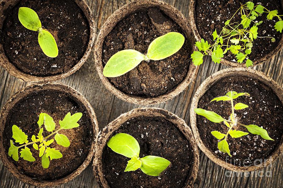 Seedlings Photograph - Seedlings Growing In Peat Moss Pots by Elena Elisseeva