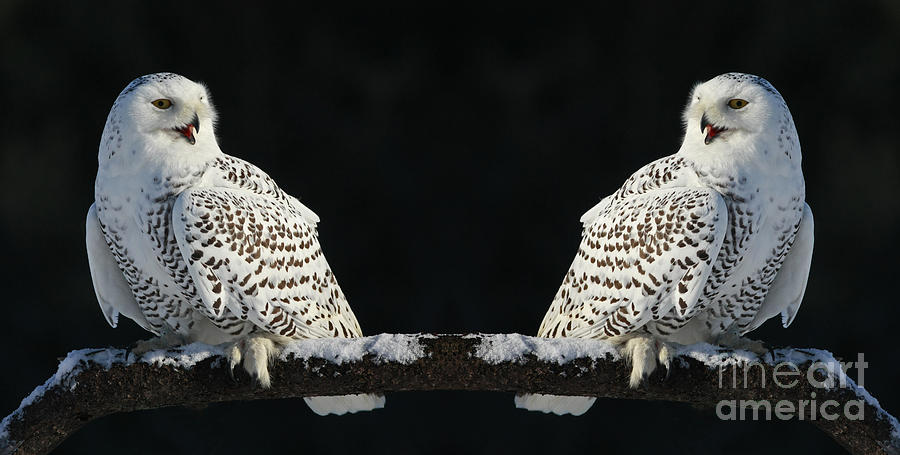 Owls Photograph - Seeing Double- Snowy Owl At Twilight by Inspired Nature Photography Fine Art Photography