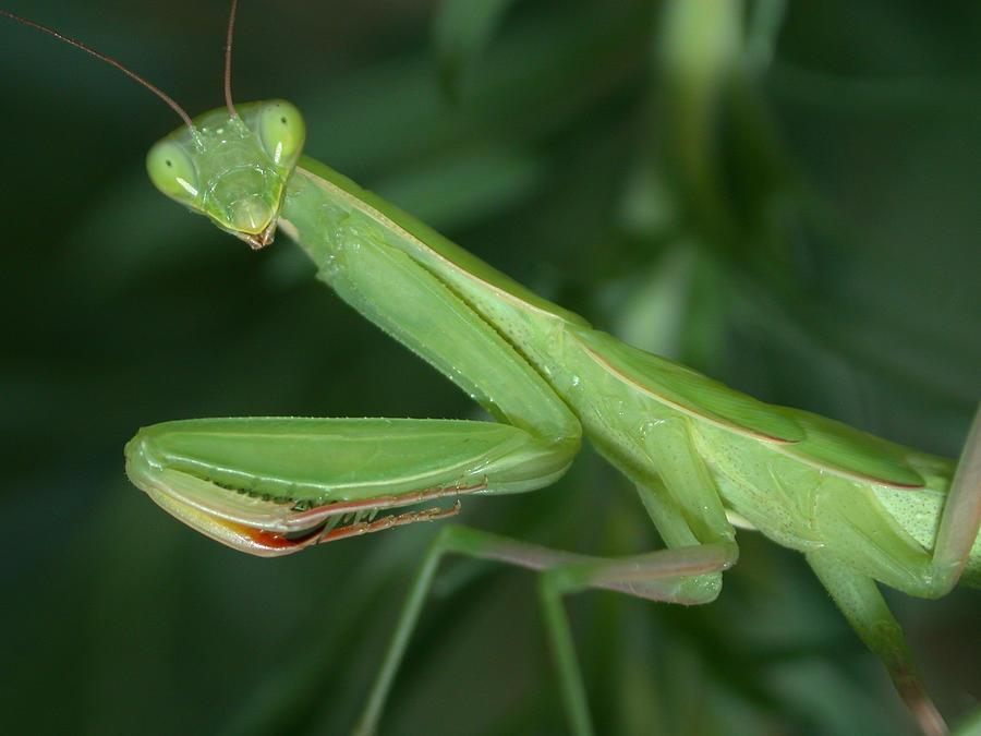 Praying Mantis Photograph - Seeing Green by Shane Bechler