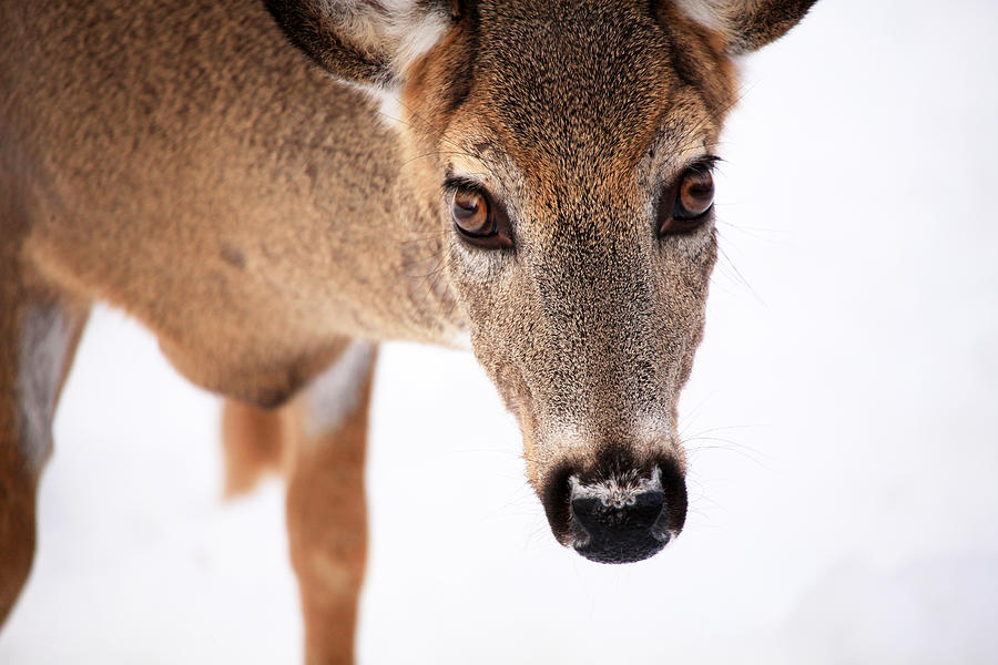 Deer Photograph - Seeing Into The Eyes by Karol Livote