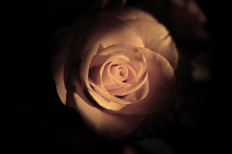 Rose Photograph - Seek The Light by Kim Lagerhem