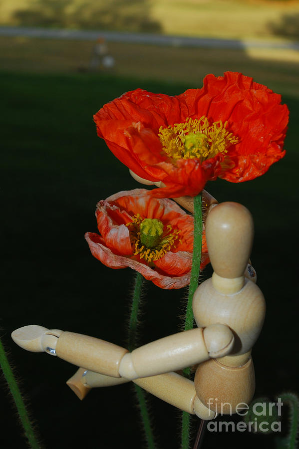 Wood Photograph - Seeking A Yellow Brick Road Poppy Number Two by Heather Kirk