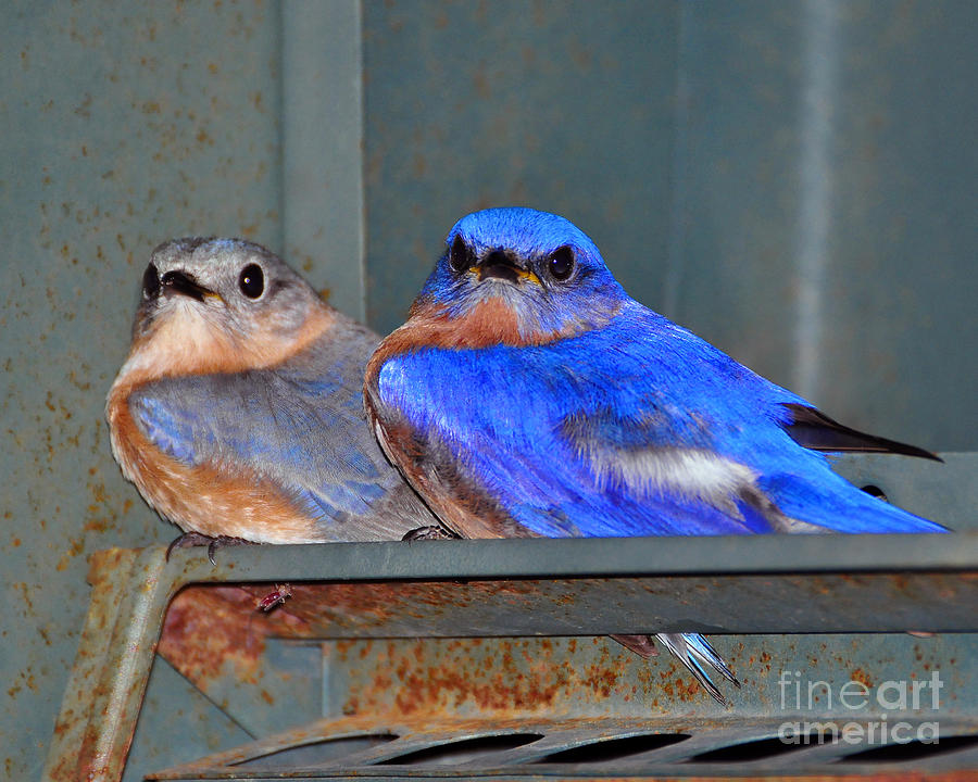 Eastern Bluebird Photograph - Seeking Shelter by Al Powell Photography USA