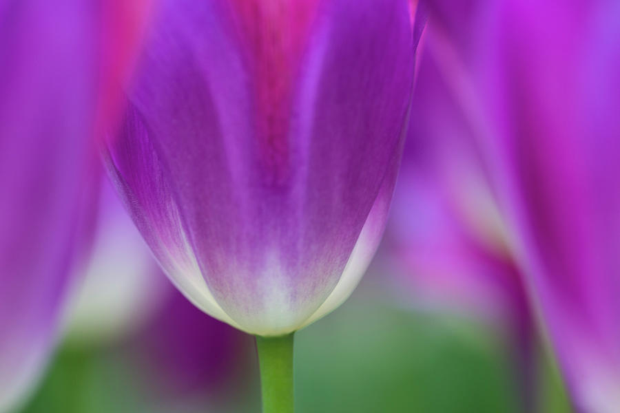 Selective Focus On Tulip Kuekenhof Photograph by Darrell Gulin