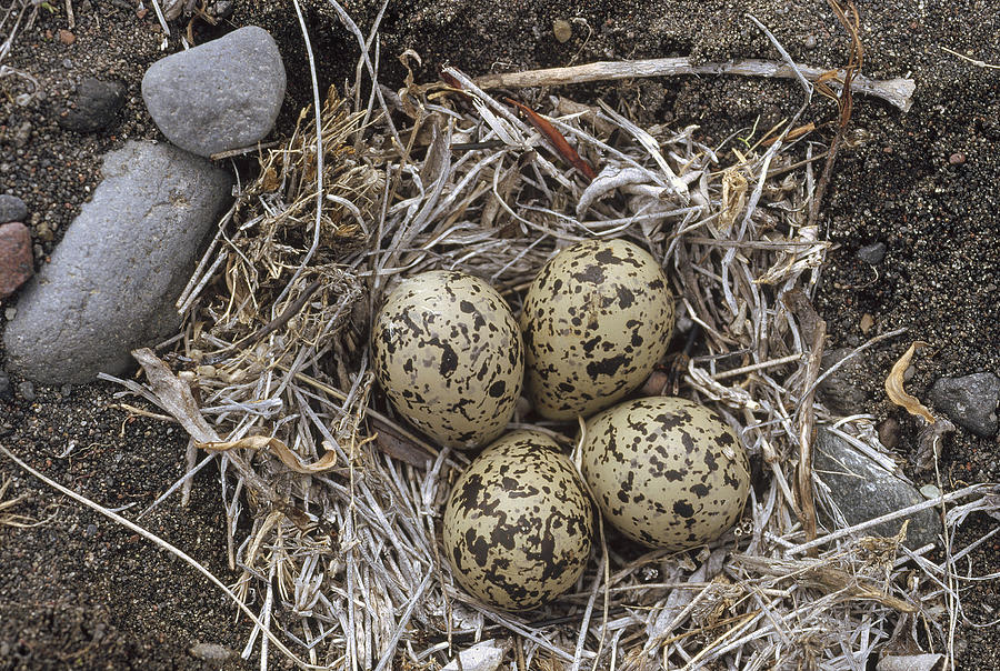 Semipalmated Plover Eggs In Nest Alaska Photograph by Michael Quinton