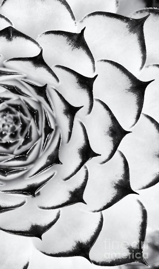 Sempervivums Photograph - Sempervivum Pattern Monochrome by Tim Gainey