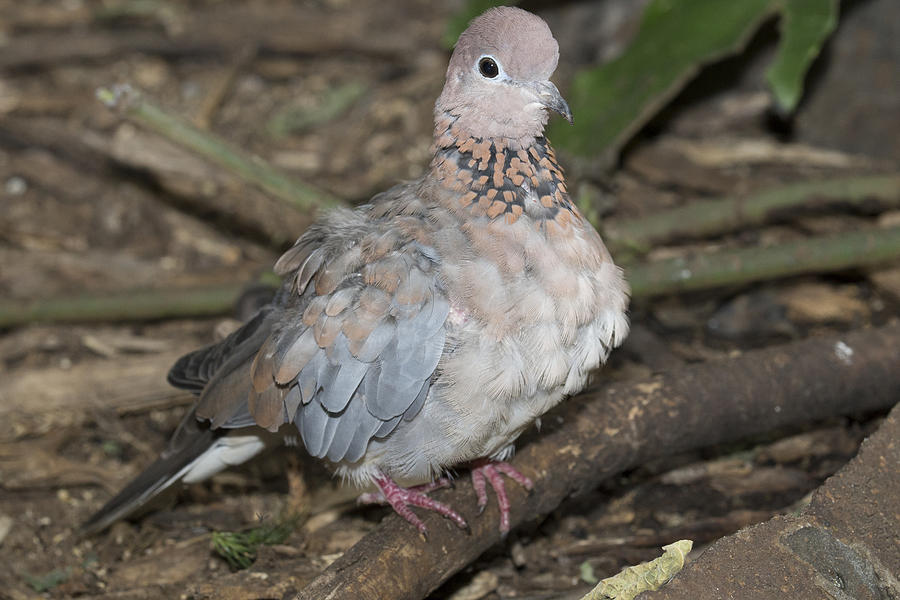 Aviary Photograph - Senegal Turtledove by Gerald Murray Photography