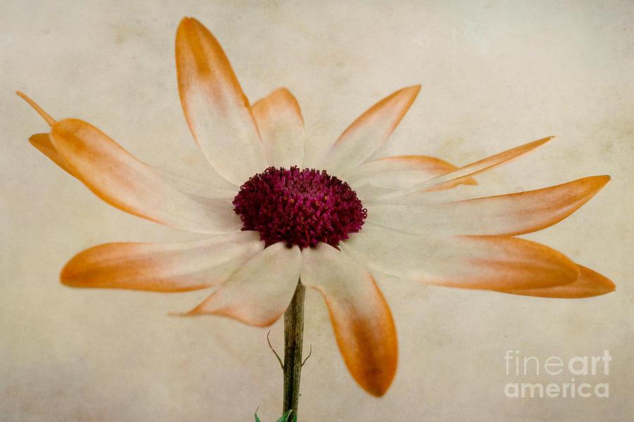 Aster Photograph - Senetti Pericallis Orange Tip by John Edwards