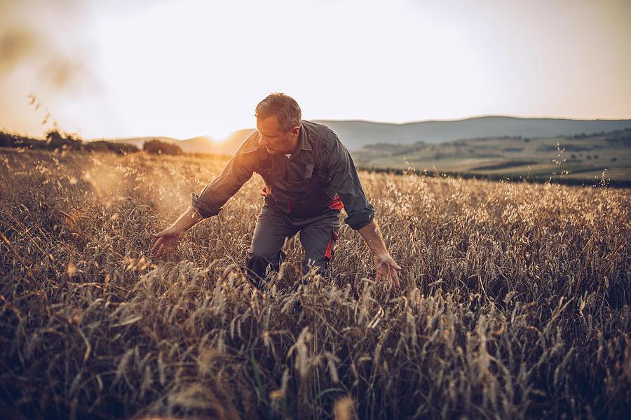 Senior farm worker examining wheat crops field Photograph by Hirurg