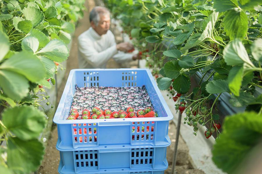 Senior Farmer Harvesting The Strawberry Photograph by Yagi-studio