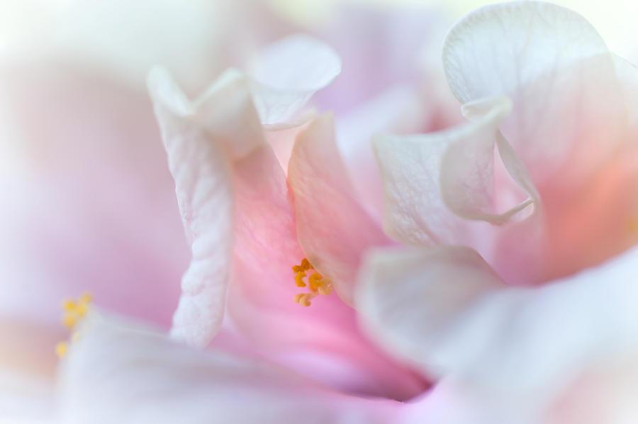 Hibiscus Photograph - Sensuality. Peach Hibiscus. Macro by Jenny Rainbow