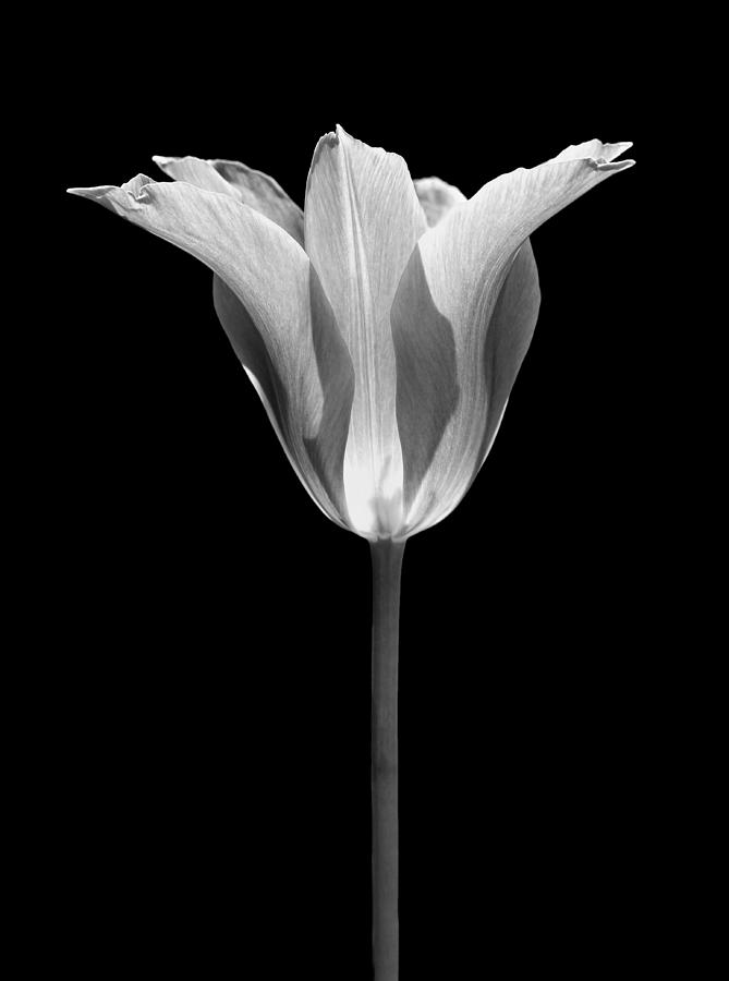 Sentry Tulip Flower Black And White Photograph By Jennie