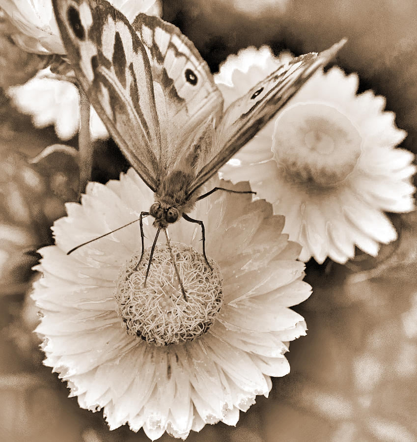 Sepia Photograph - Sepia Monarch Butterfly On Paper Daisy by Patrick OConnell