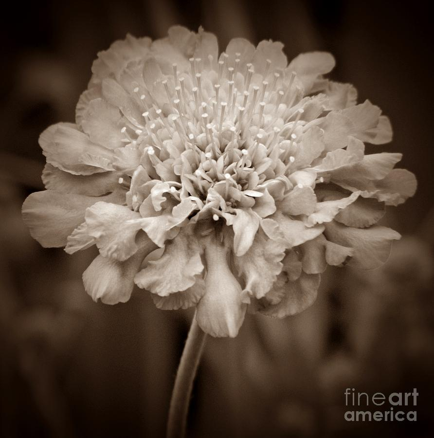 Sepia Pincushion Flower Photograph By Chalet Roome Rigdon