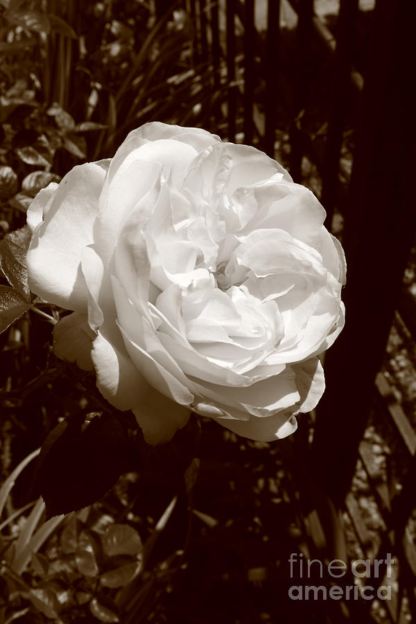 Rose Photograph - Sepia Rose by Aidan Moran