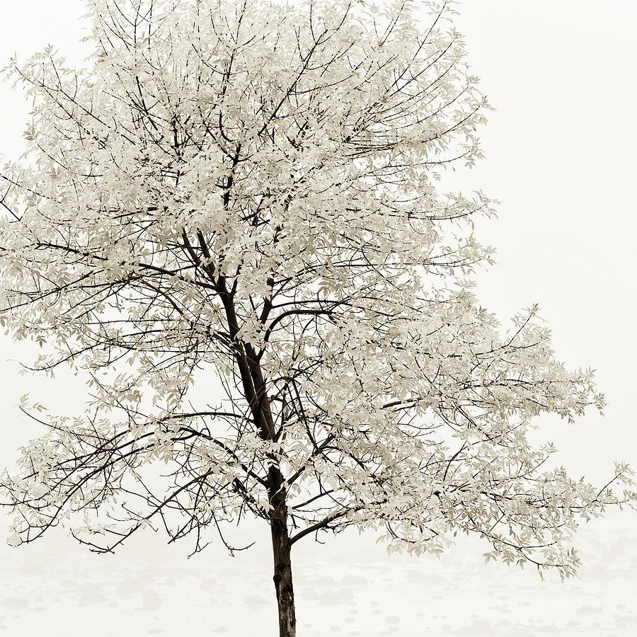 Autumn Photograph - Sepia Square Tree by U Schade