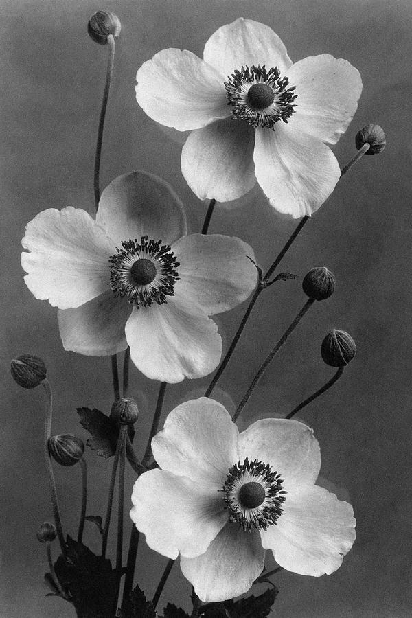 September Charm Anemones Photograph by J. Horace McFarland