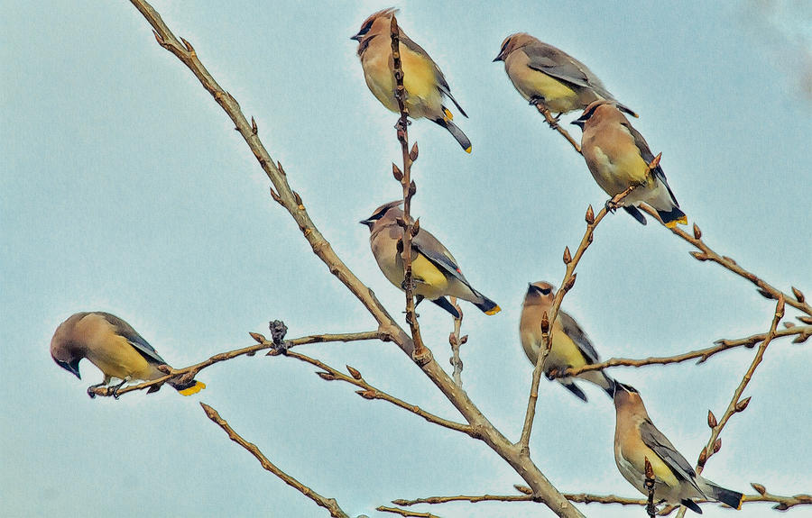 Cedar Waxwings Photograph - Septet by Constantine Gregory