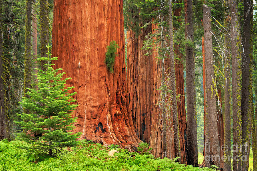 America Photograph - Sequoias by Inge Johnsson