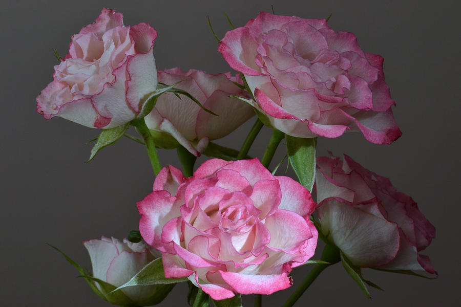 Roses Photograph - Serene Roses. by Terence Davis