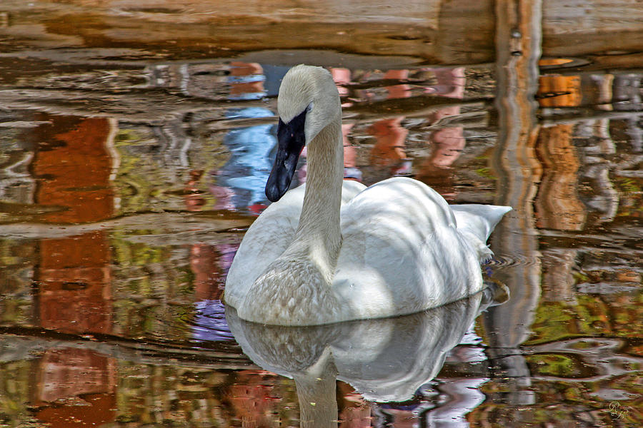 Swan Photograph - Serenity In Color by Rick Lewis