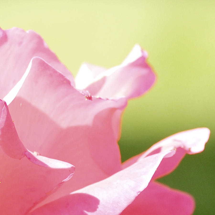 Rose Photograph - Serenity by Kim Thompson