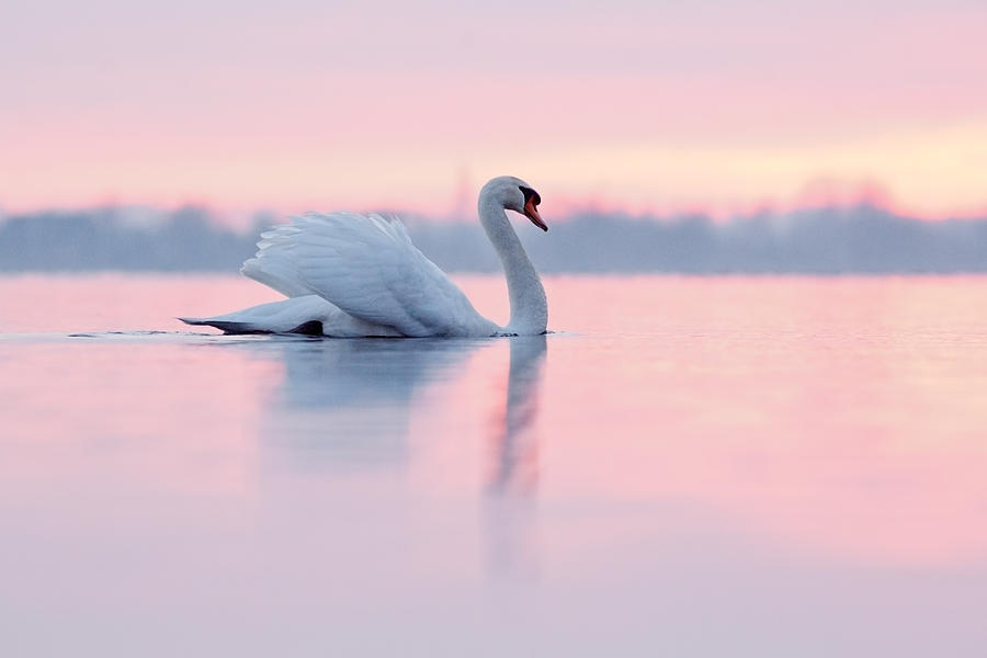 Mute Swan Photograph - Serenity   Mute Swan at Sunset by Roeselien Raimond