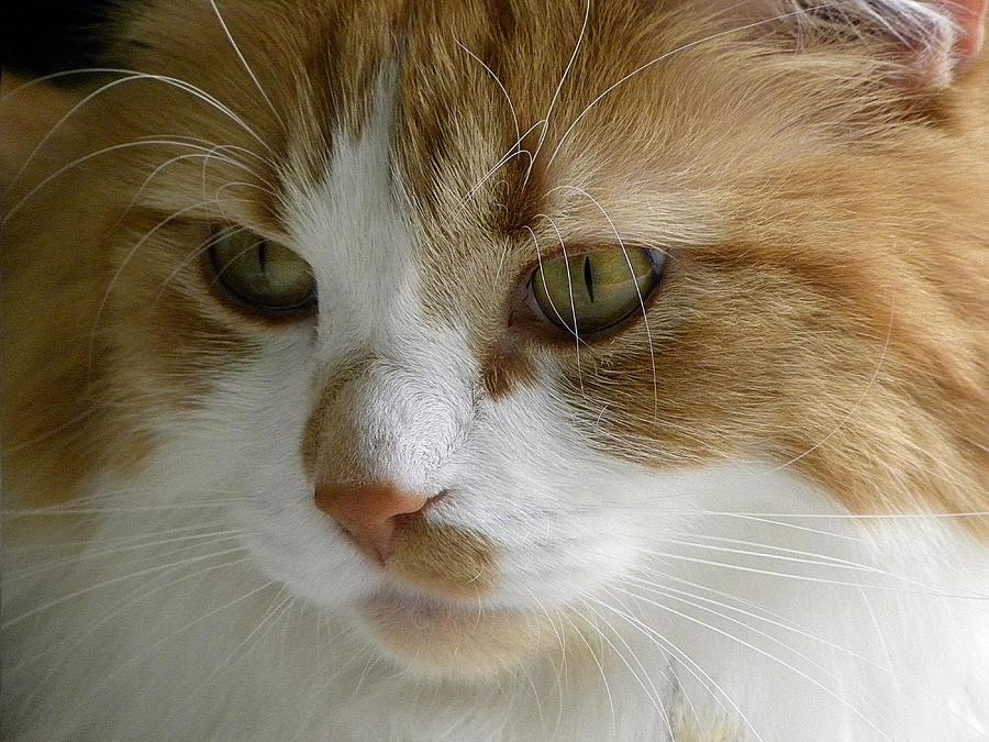 Maine Photograph - Serious Gato 3 by Julie Palencia