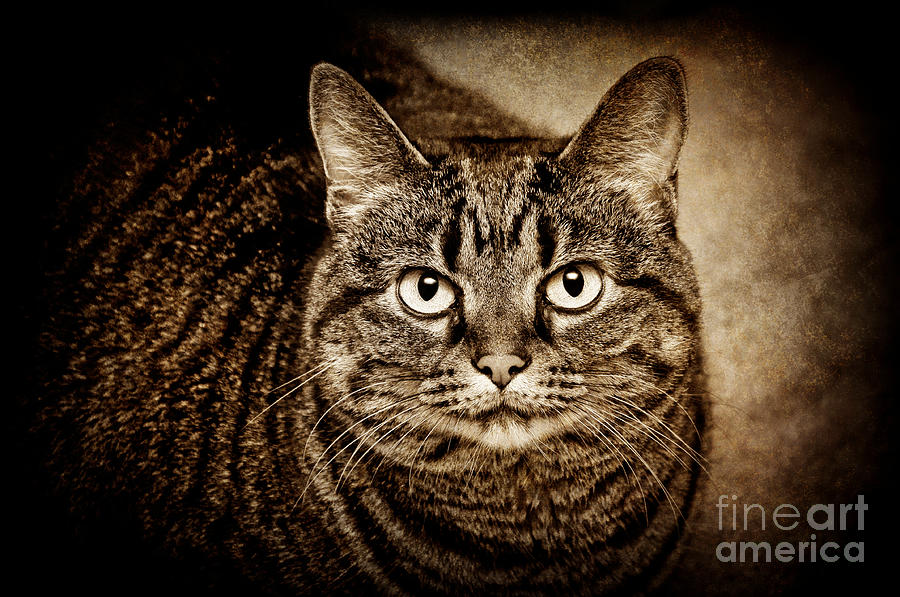 Kitten Photograph - Serious Tabby Cat by Andee Design