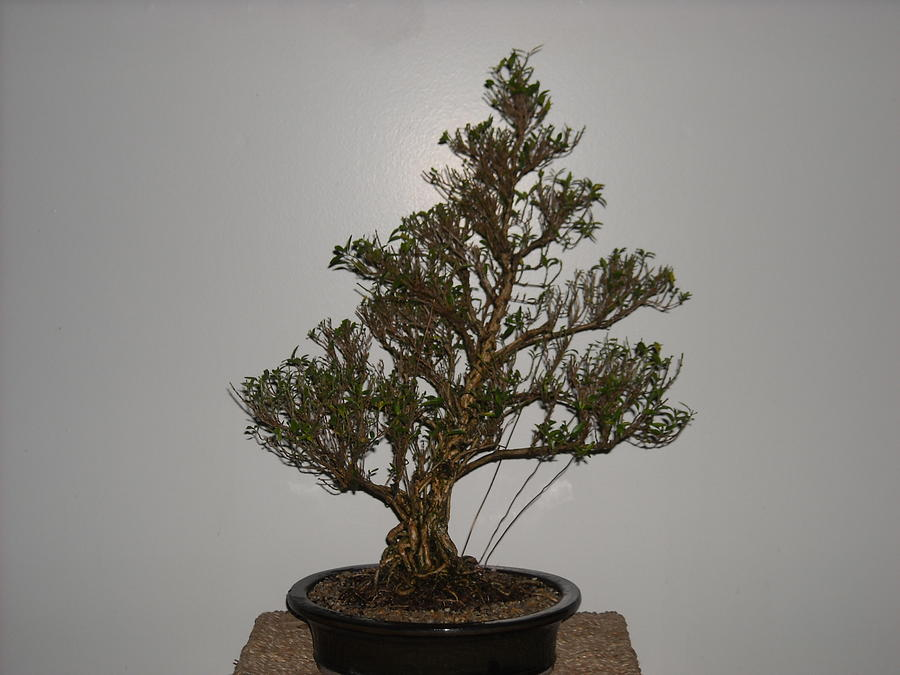 Serissa Bonsai Tree 18 Years Old From A Cutting Photograph By Ricks Tree Art