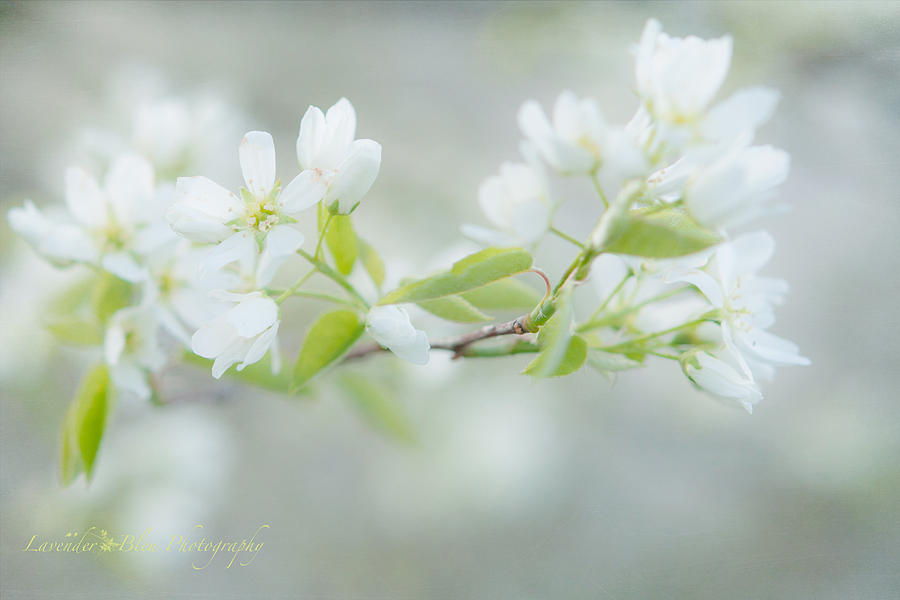 Pastel Photograph - Serviceberry Blossoms by Beverly Cazzell
