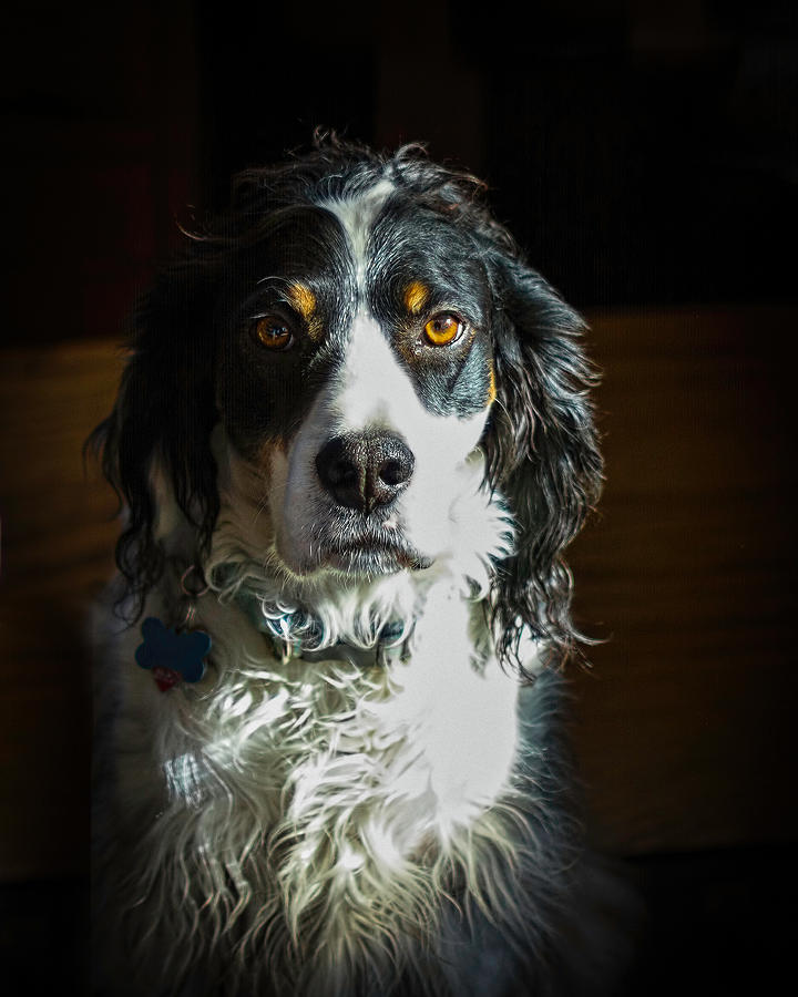 English Setter Photograph - Setter In Contrast by Andrew Lawlor