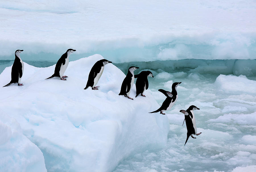 Iceberg Photograph - Seven Chinstrap Penuins Queueing by Rosemary Calvert