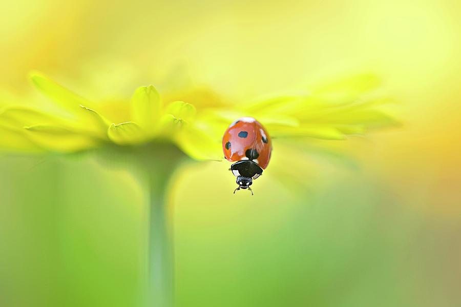 Seven Spot Ladybird On Yellow Flower Photograph by Jacky Parker Photography