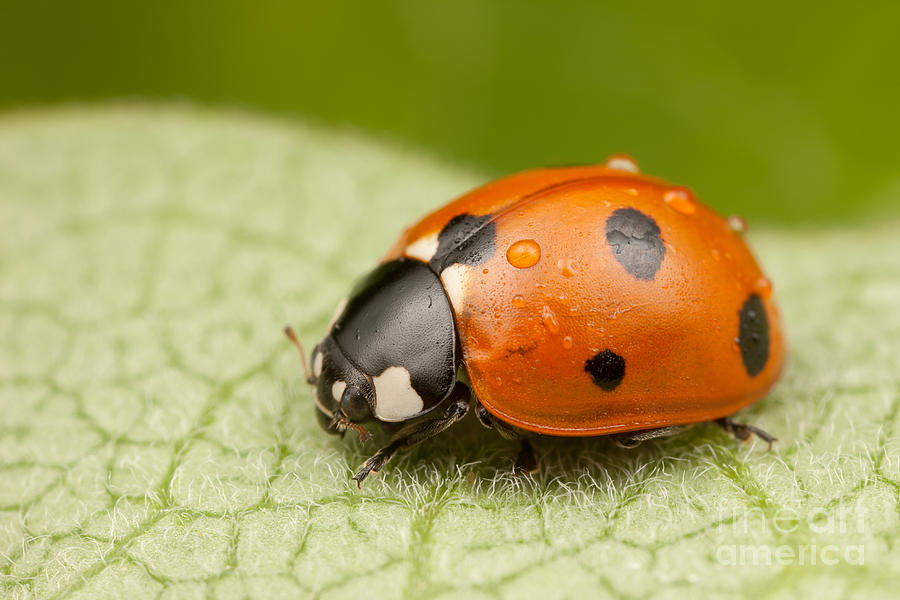 America Photograph - Seven-spotted Lady Beetle II by Clarence Holmes