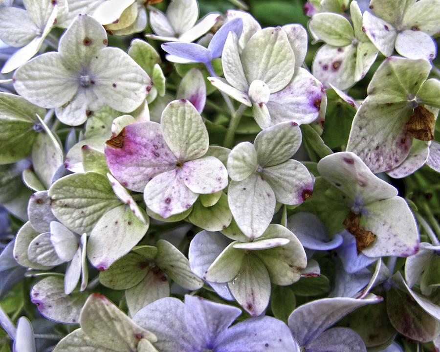 Hydrangeas Photograph - Shabby Hydrangea by Rose  Fleming