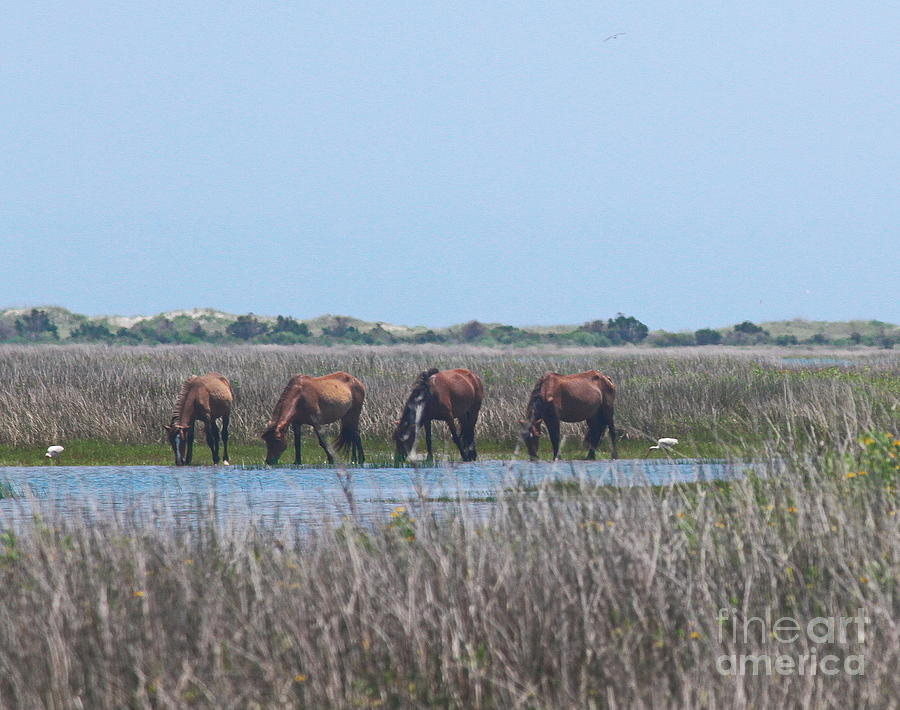 Seagull Photograph - Shackleford Horses And Friends 3 by Cathy Lindsey