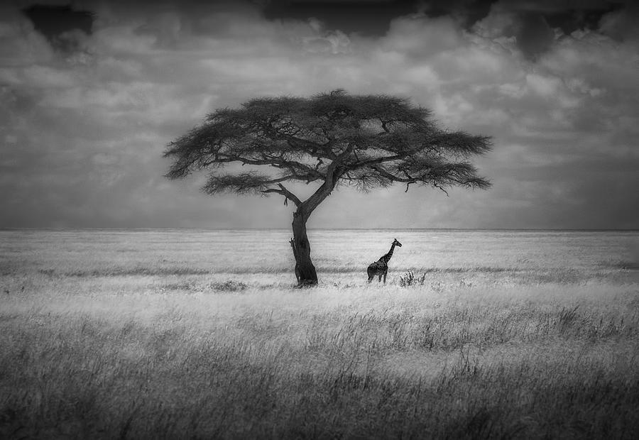 Acacia Photograph - Shade by Greg Metro