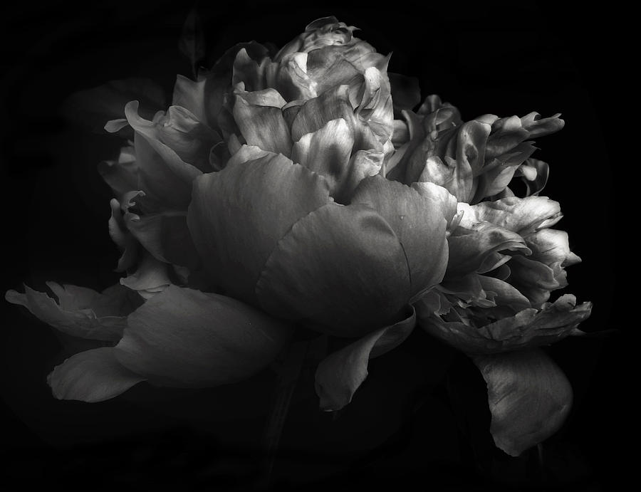 Flowers Photograph - Shades Of A Peony by Jessica Jenney