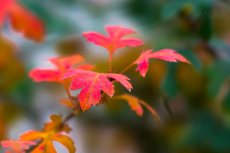 Abstract Photograph - Shades Of Autumn - Red Leaves by Alexander Senin