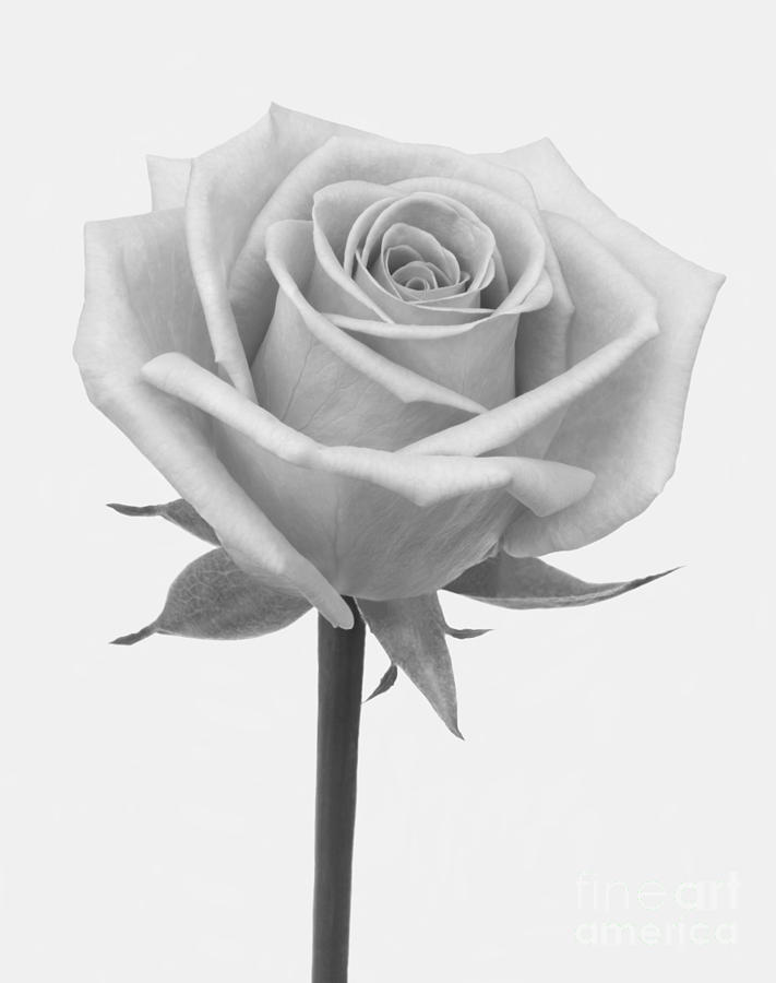 Shades Of Grey Rose Photograph By Rosemary Calvert