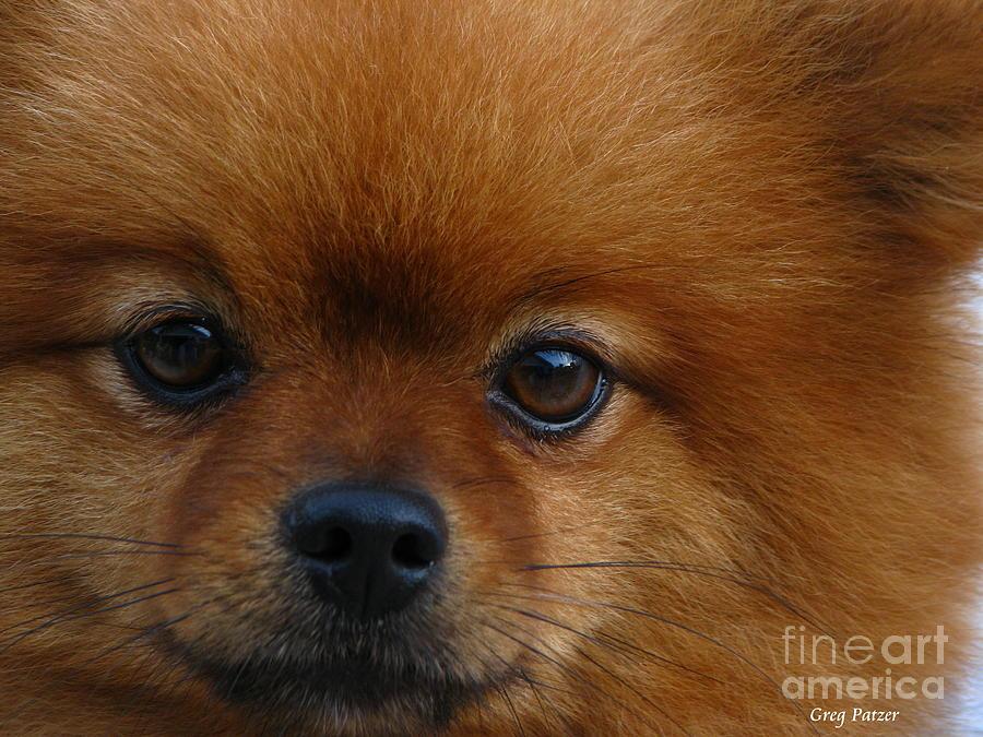 Pomeranian Photograph - Shadow by Greg Patzer