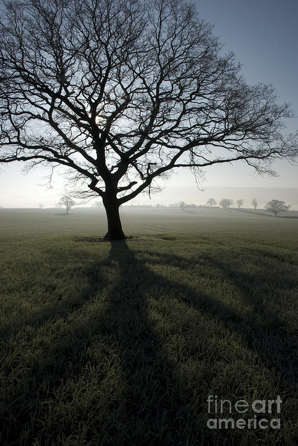 Acton Photograph - Shadow Tree by Anne Gilbert
