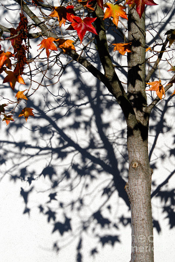 Tree Photograph - Shadows Of Fall by CML Brown