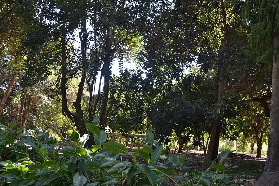 Tree Photograph - Shady Jungle by Kiros Berhane
