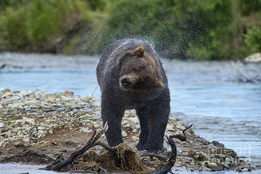 Grizzly Bear Photograph - Shake Shake Shake by Dan Friend