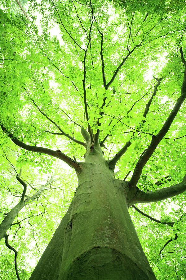 Shallow Dof - Green Tree Looking Up Photograph by Konradlew