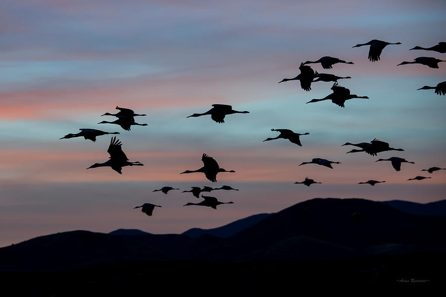 Sandhill Cranes Landing at Sunset 2 by Avian Resources