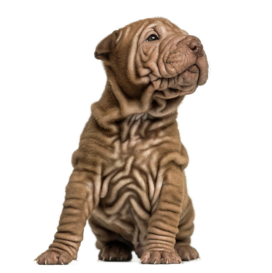 Shar Pei Puppy Sititng, Looking Up Photograph by Life On White